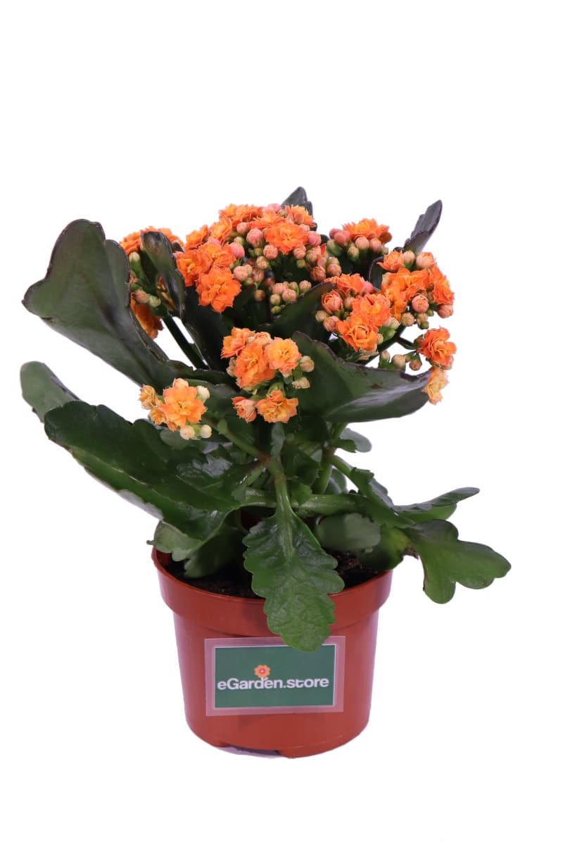 Calandiva - Kalanchoe Blossfeldiana Arancione