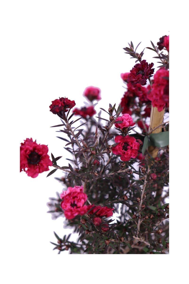 Leptospermum Scoparium Rosso v16 egarden.store online