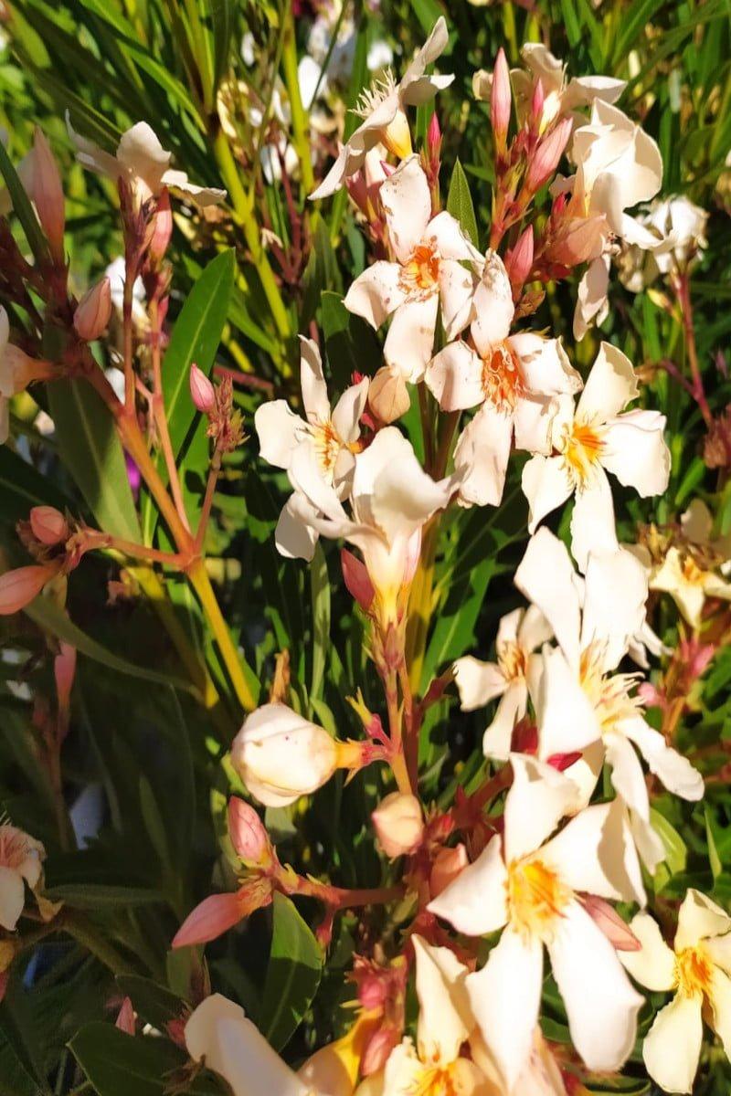 Oleandro Nerium Oleander Isola Di Capri online