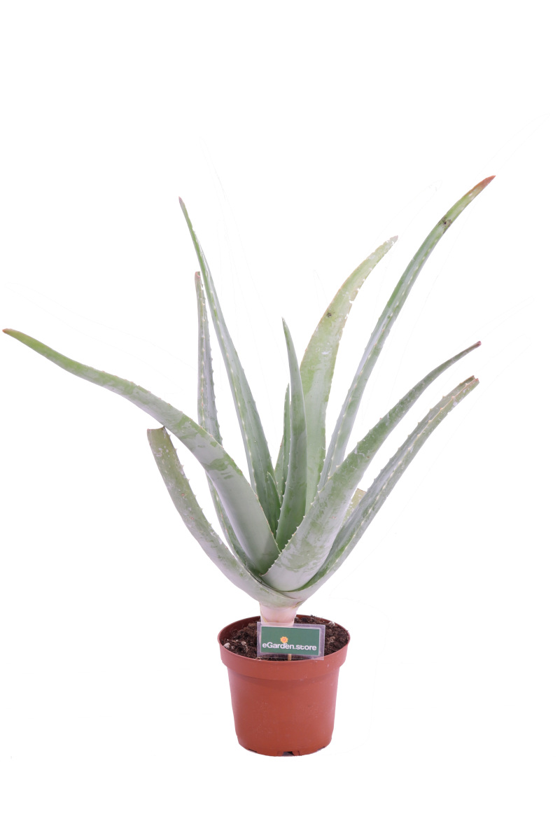 aloe barbadiensis online