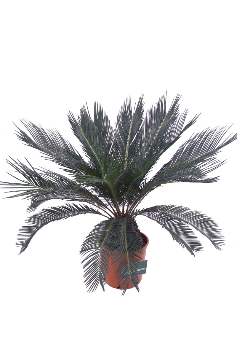 cycas online