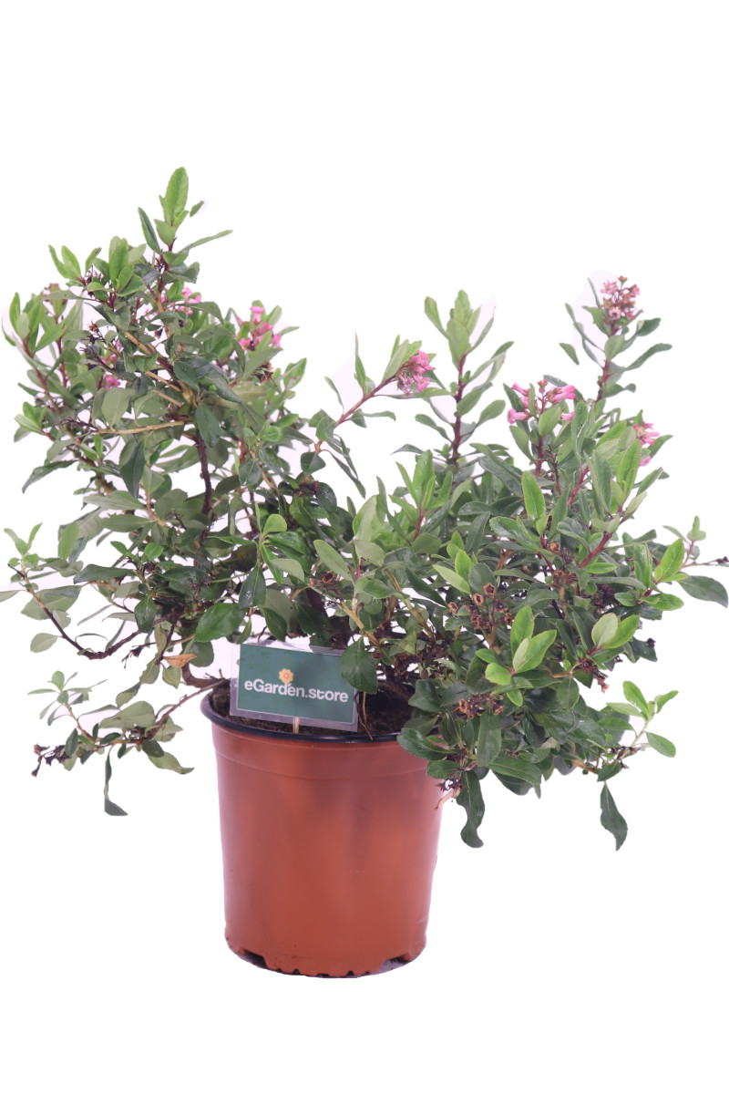 escallonia donard radiance online