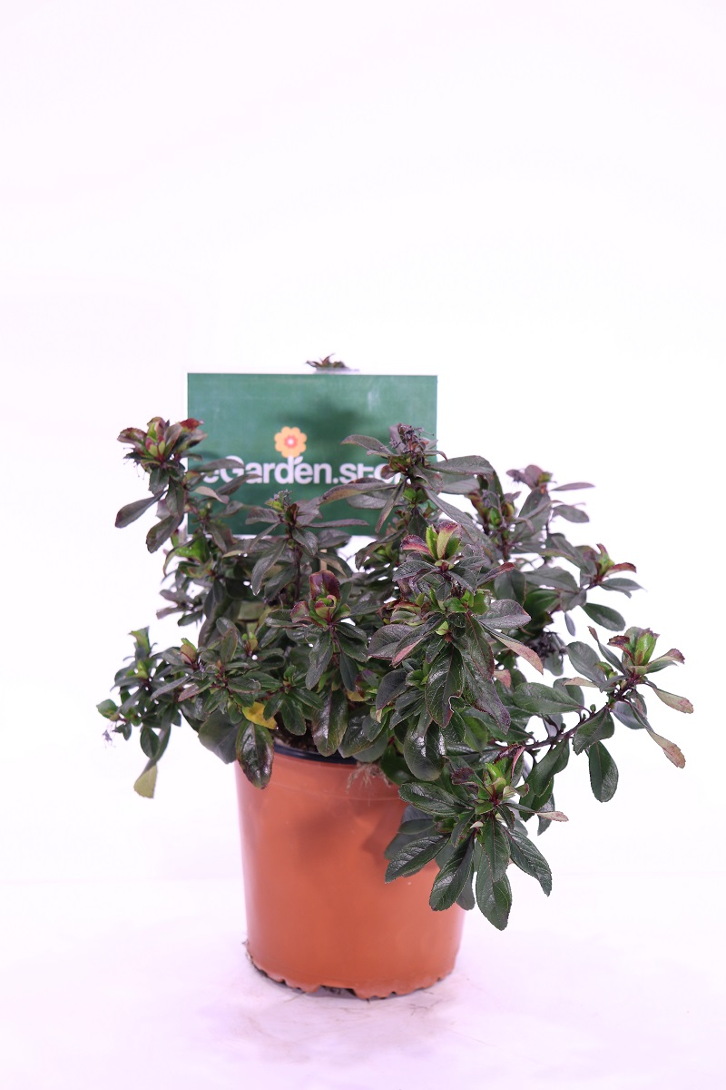 Escallonia Donard Radiance