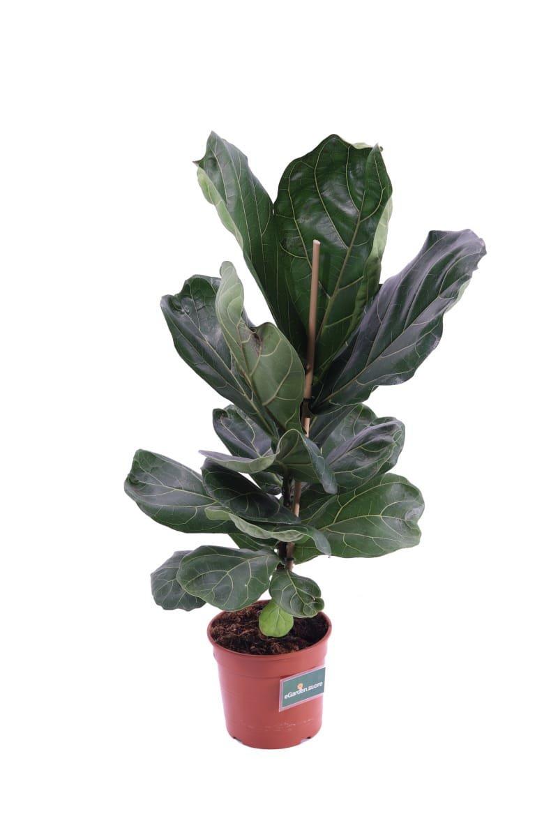 Ficus Lyrata v17 egarden.store online