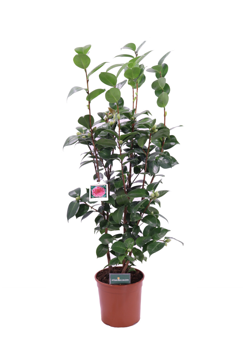 camelia japonica tom thumb online