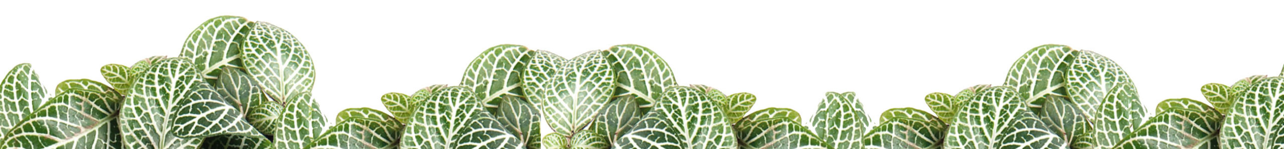 Fittonia Mosaic Light Green