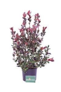 photinia nana v24 egarden.store online
