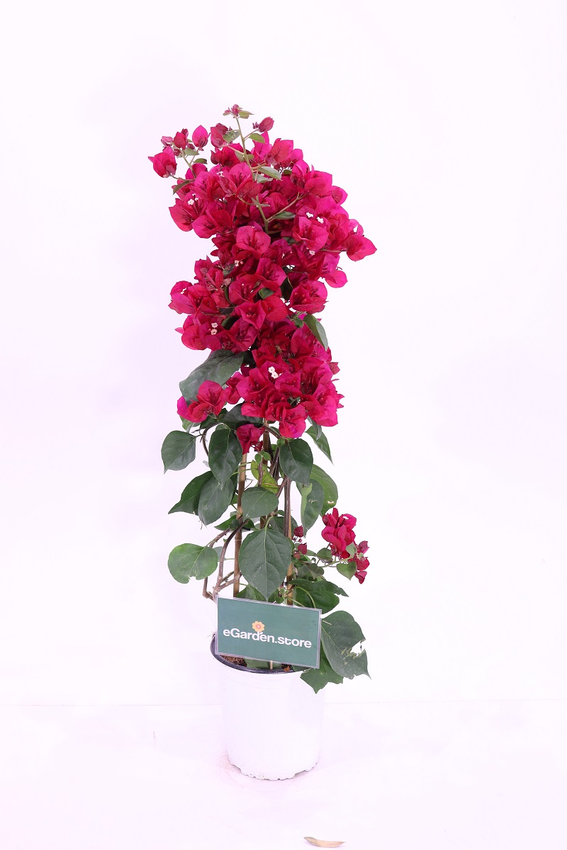bougainvillea electric purple online