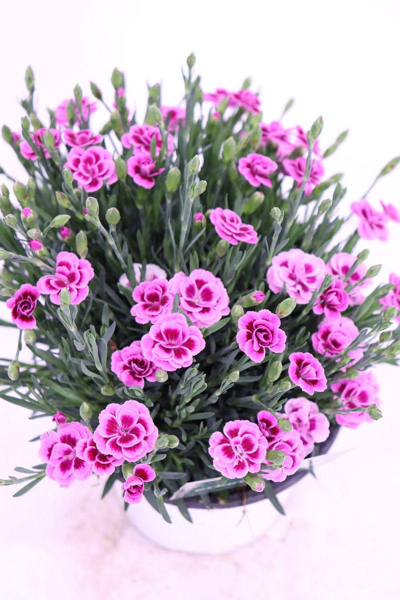Dianthus Pink Kiss