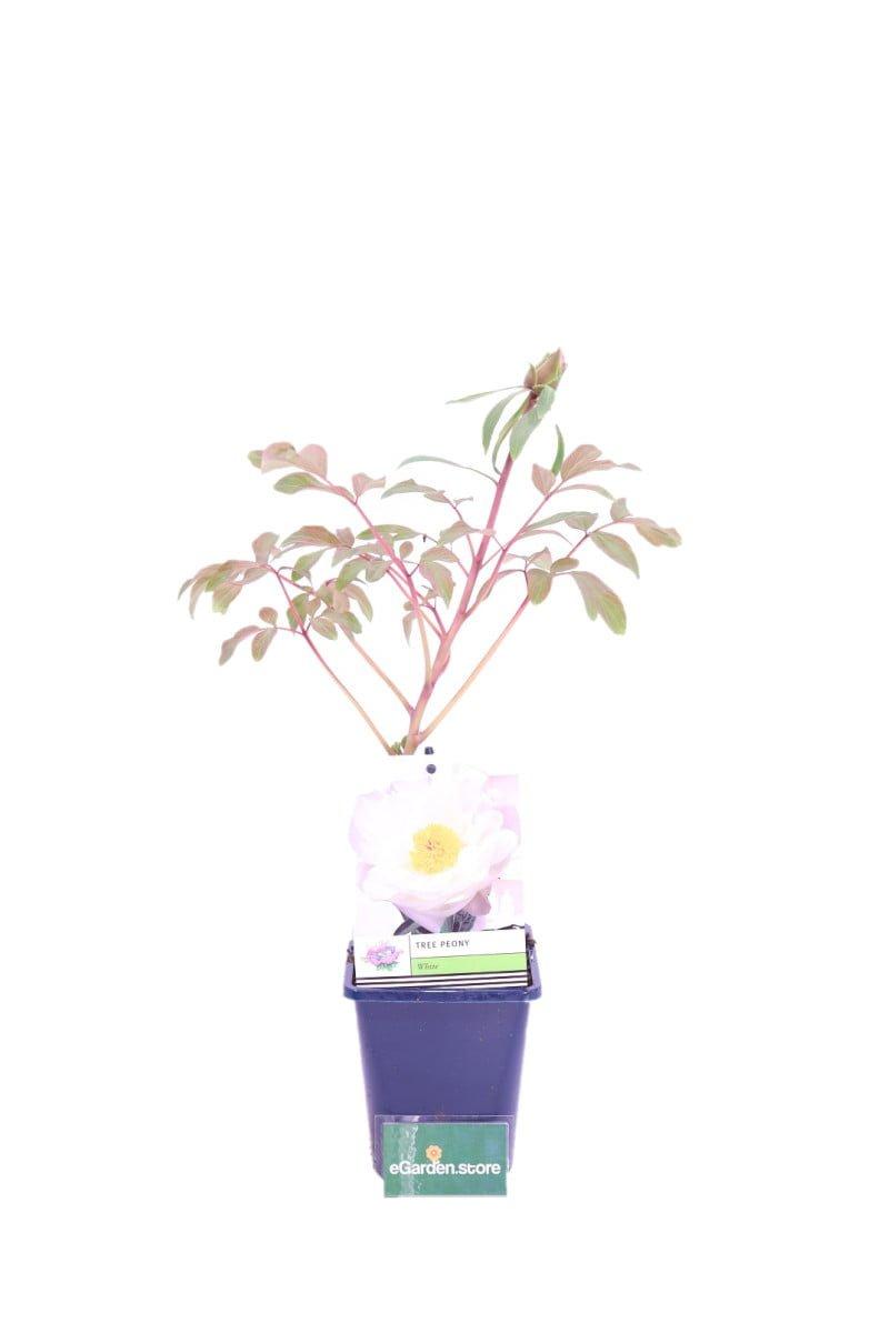 peonia bianca online