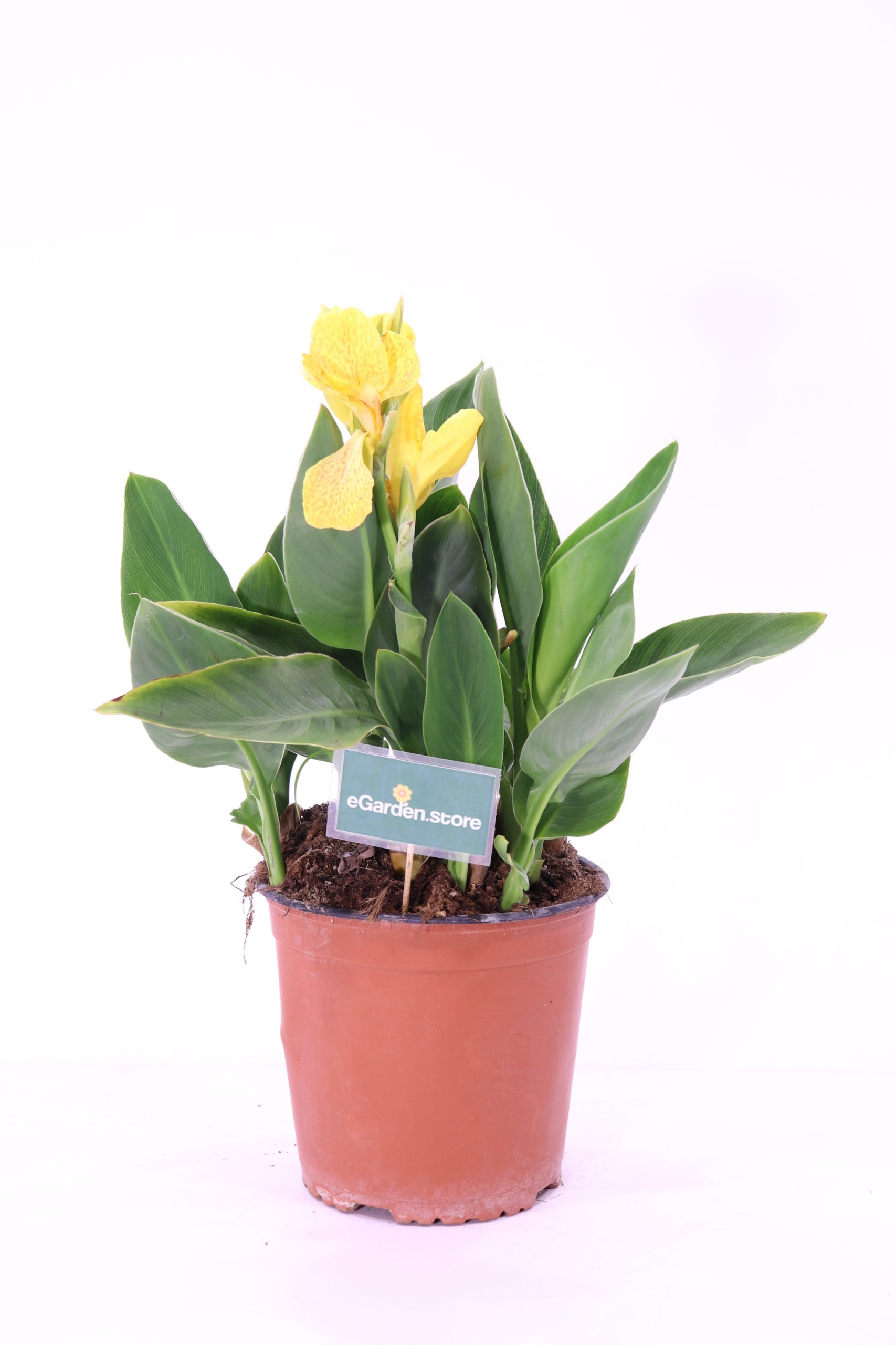 Generalis Tropical Yellow