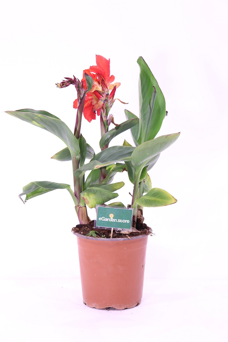 Canna x Generalis Tropical Red