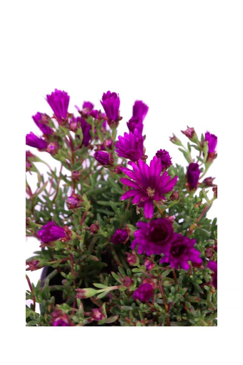 Lampranthus Productus Purple v16 egarden.store online
