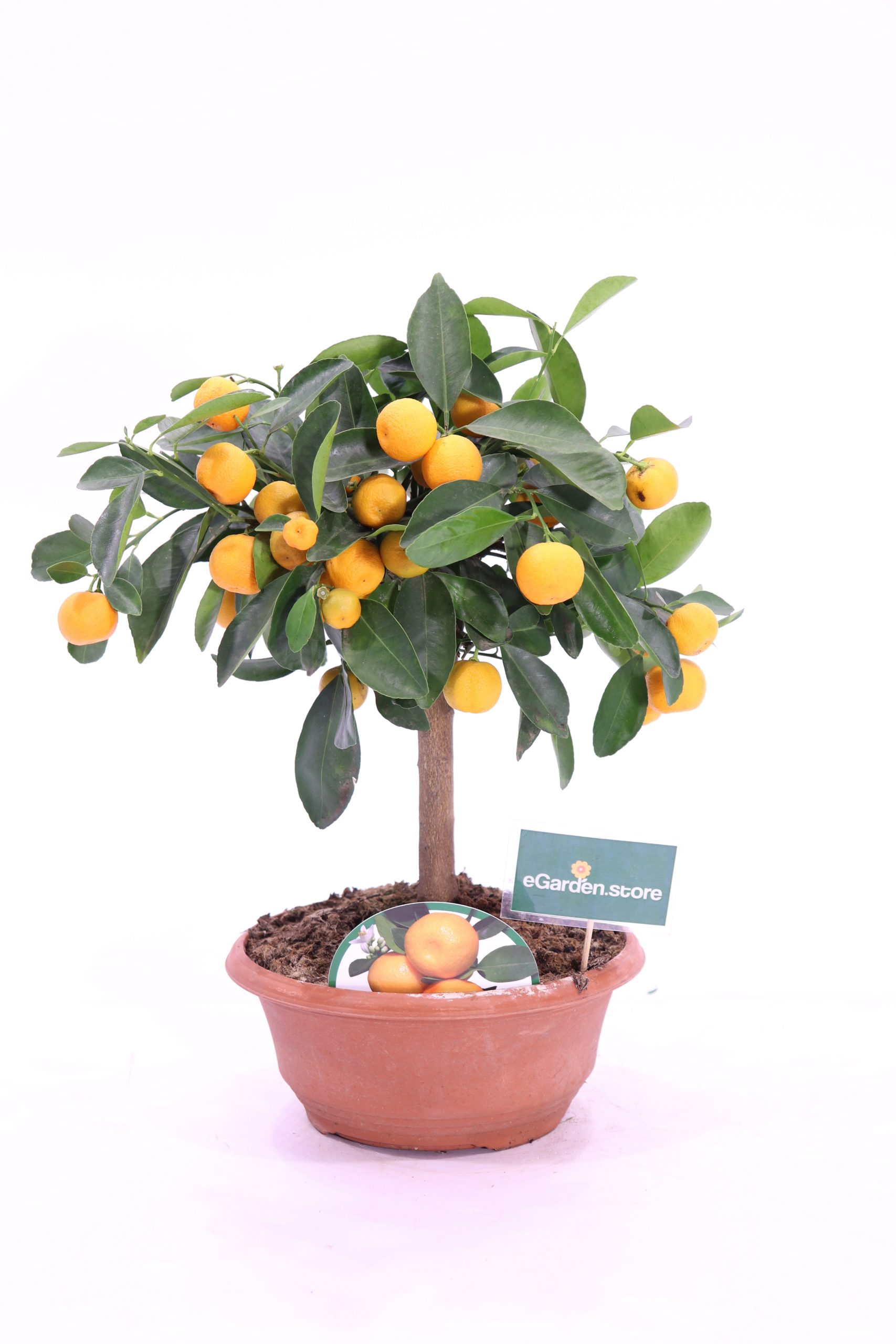 Bonsai Calamondivo - Citrus Madurensis