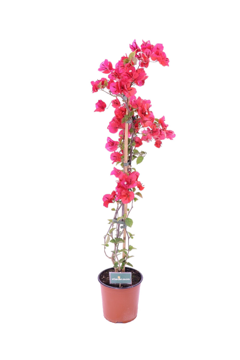 Bougainvillea Californiana red online