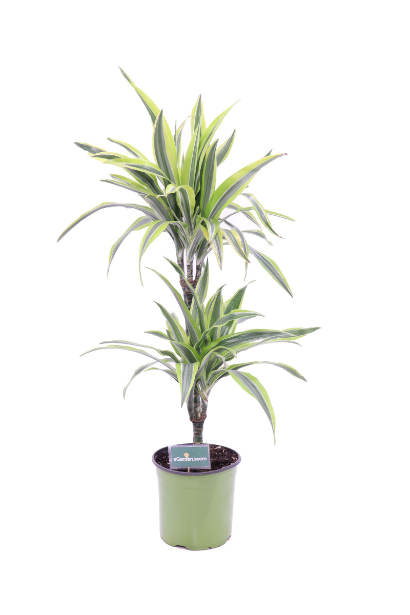 Dracena Lemon Lime online