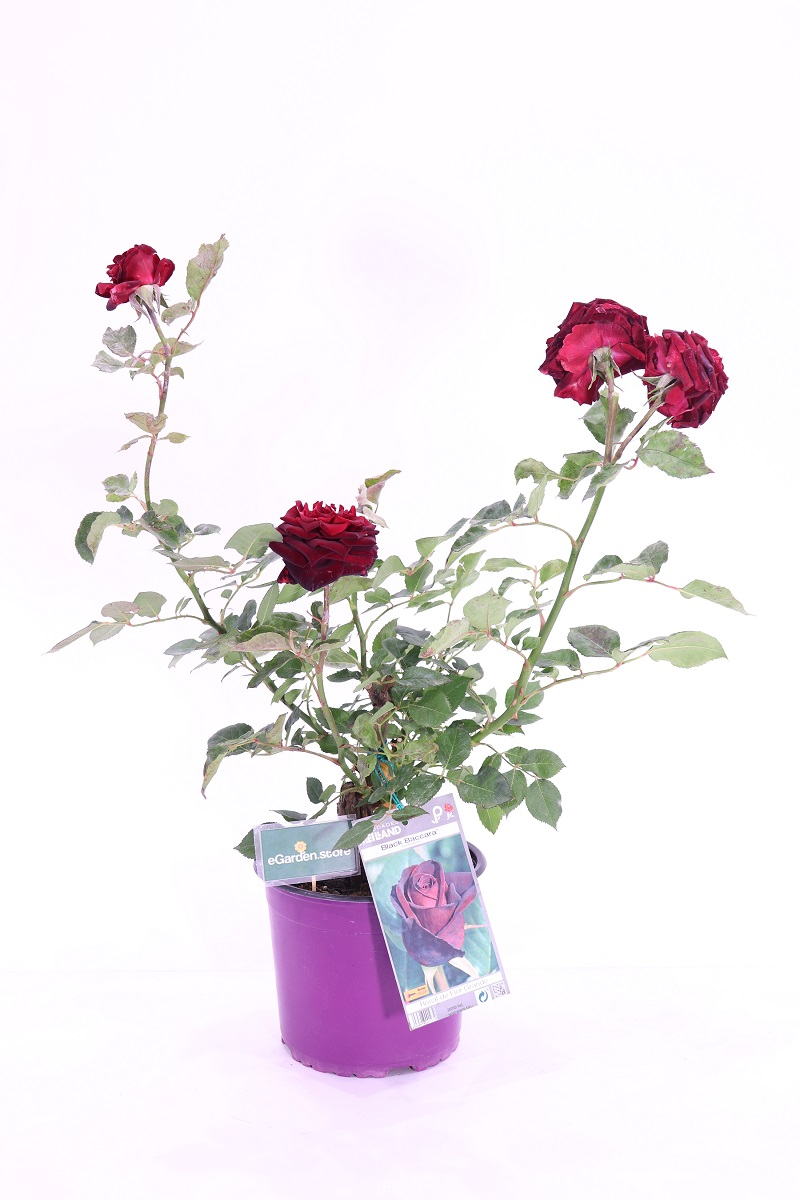 Rosa Meilland Black Baccara online
