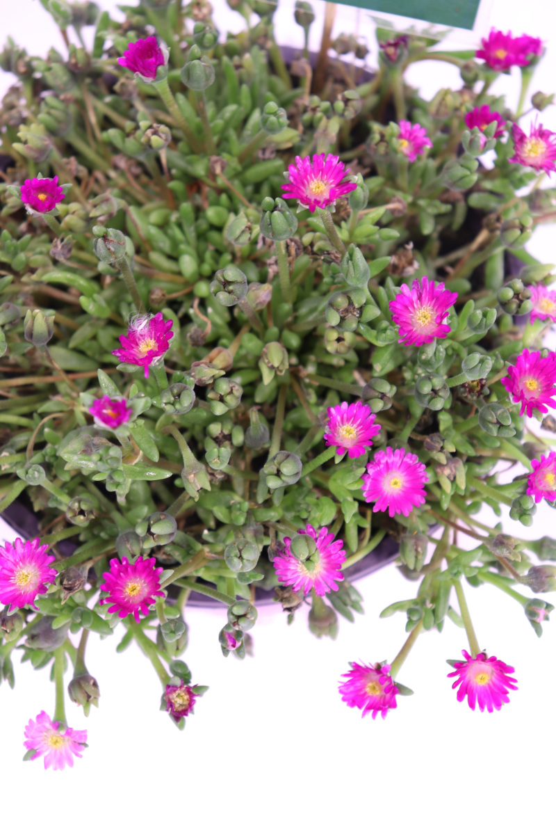Delosperma jewel of desert opal