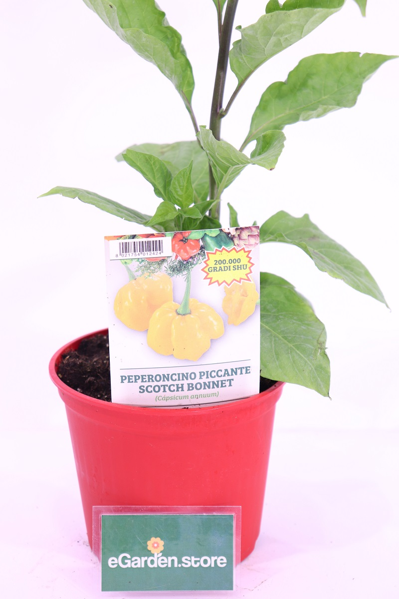 Peperoncino Scotch Bonnet