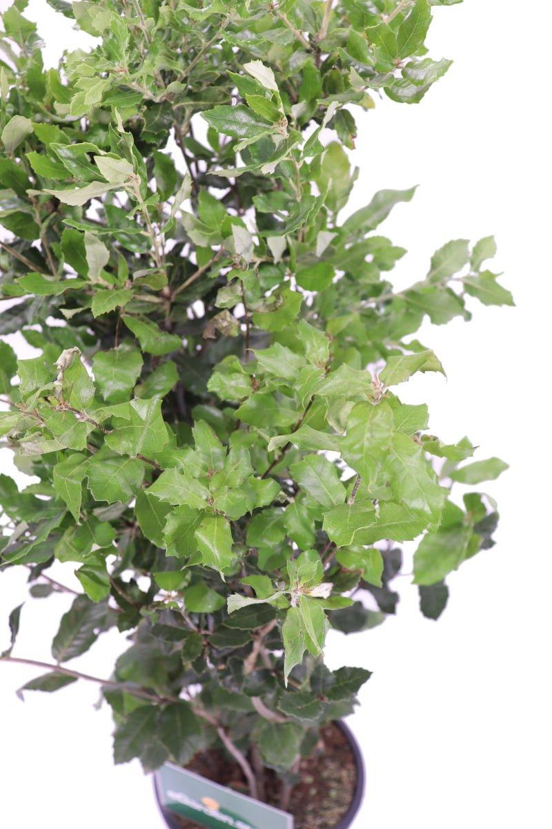 Leccio - Quercus Ilex