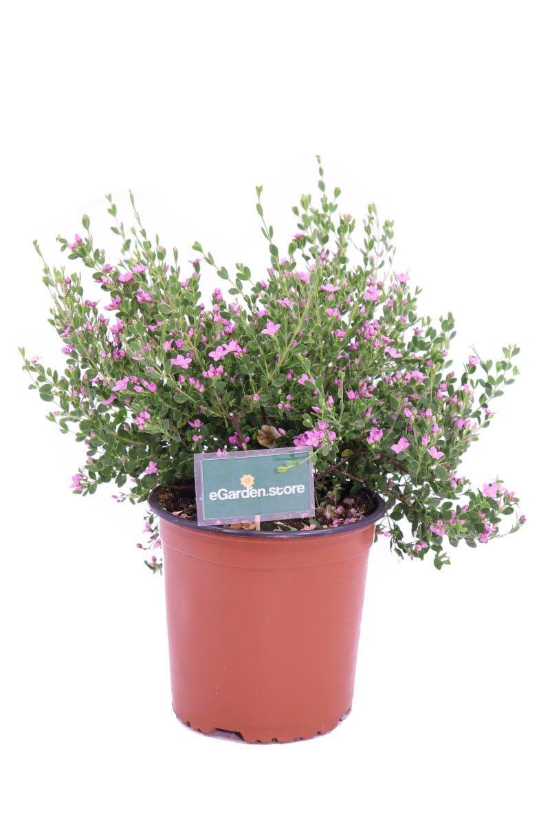 boronia crenulata online