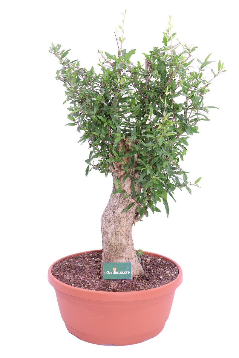 melograno bonsai online