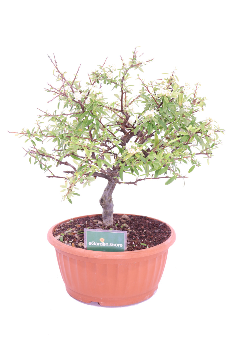piracanta bonsai online