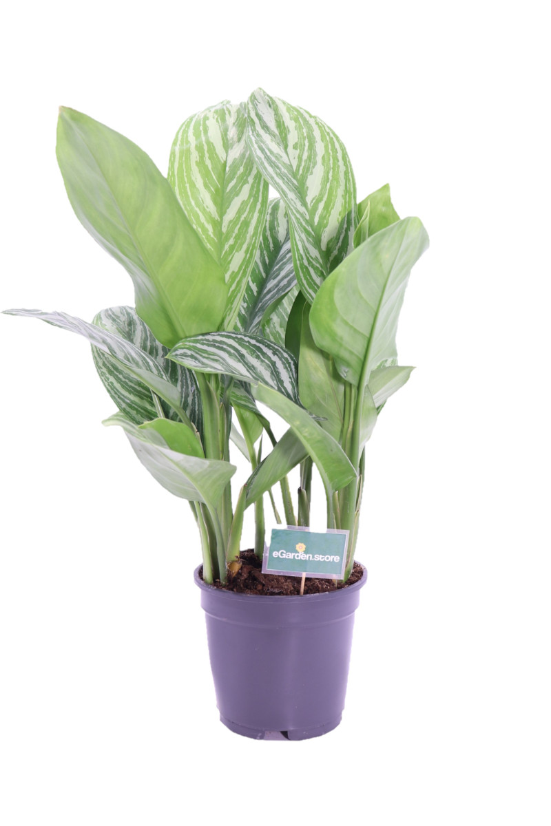 Aglaonema stripes online