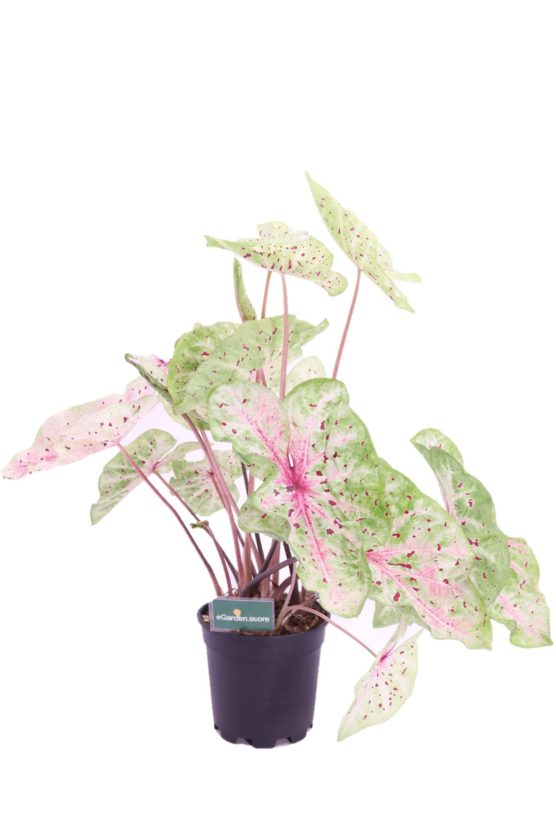 Caladio Caladium raspberry moon online