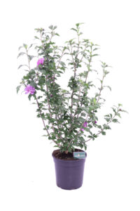 Hibiscus Syriacus Lila online