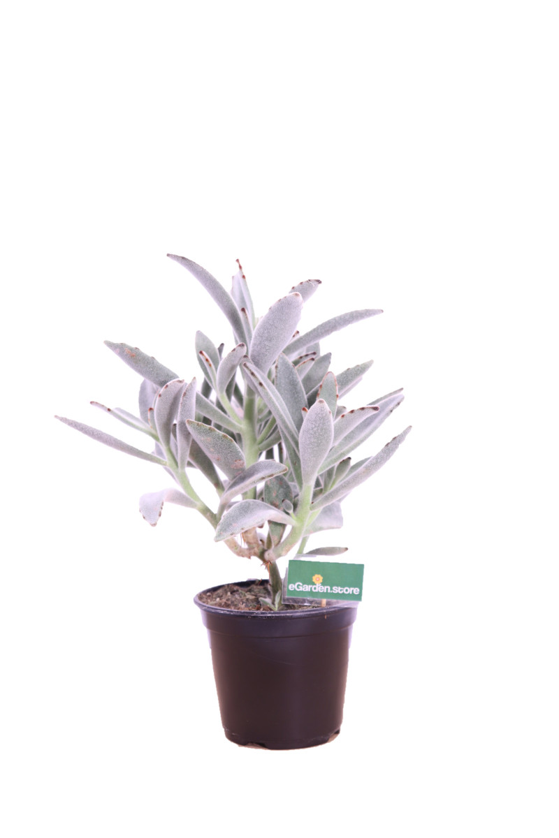 Kalanchoe tomentosa online