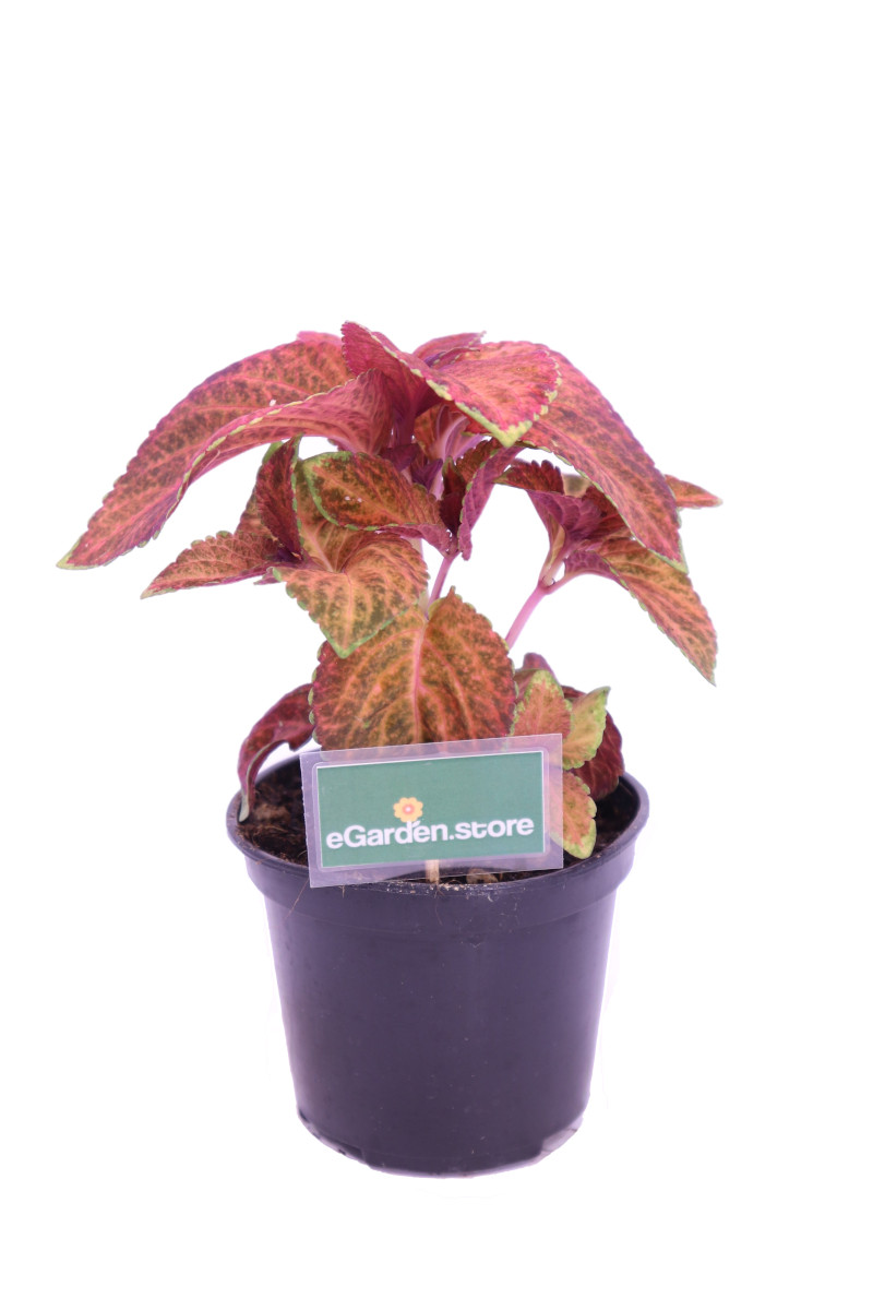 coleus blumei fairway orange online