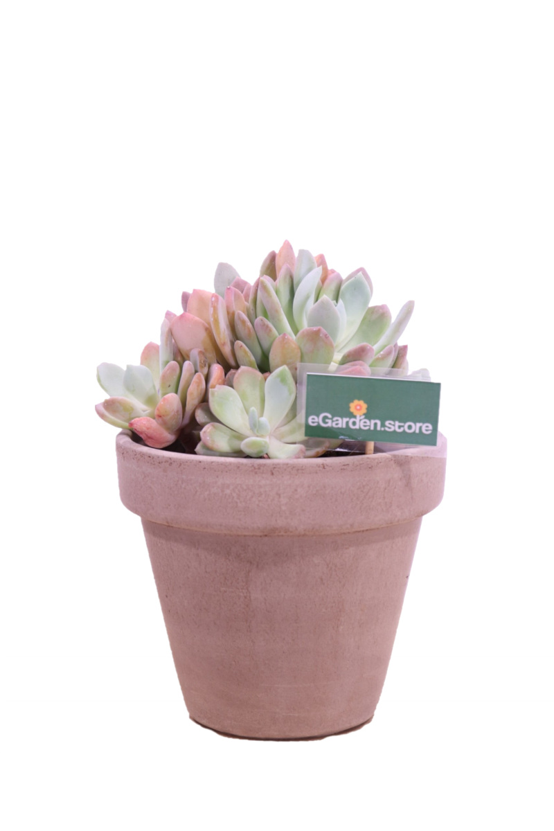 echeveria prolifica deco online
