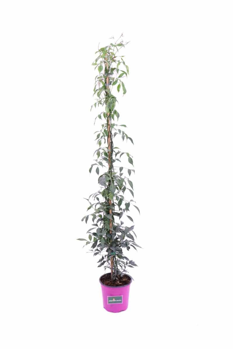 Pandorea Jasminoides Rosa v17 egarden.store online
