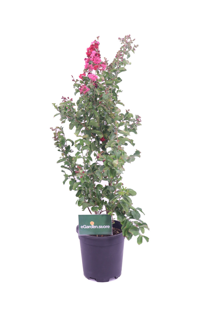 lagerstroemia dynamite online