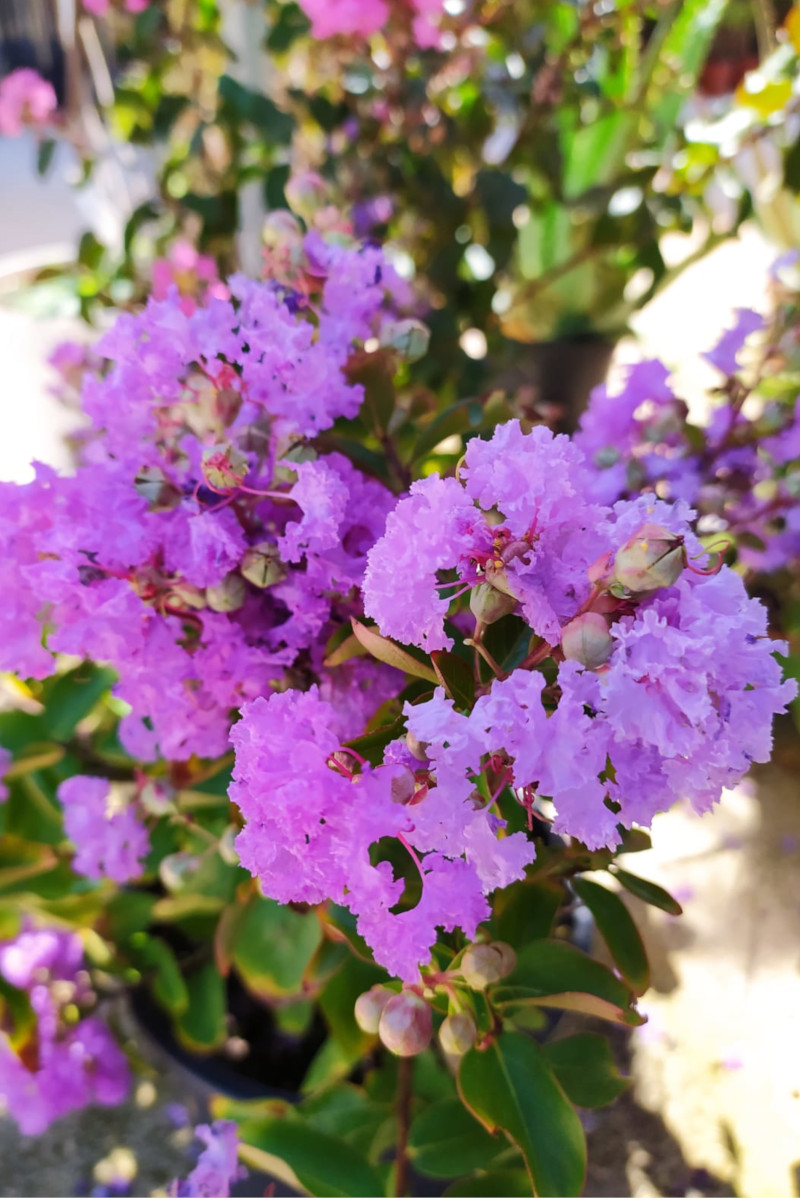 lagerstroemia lilla online
