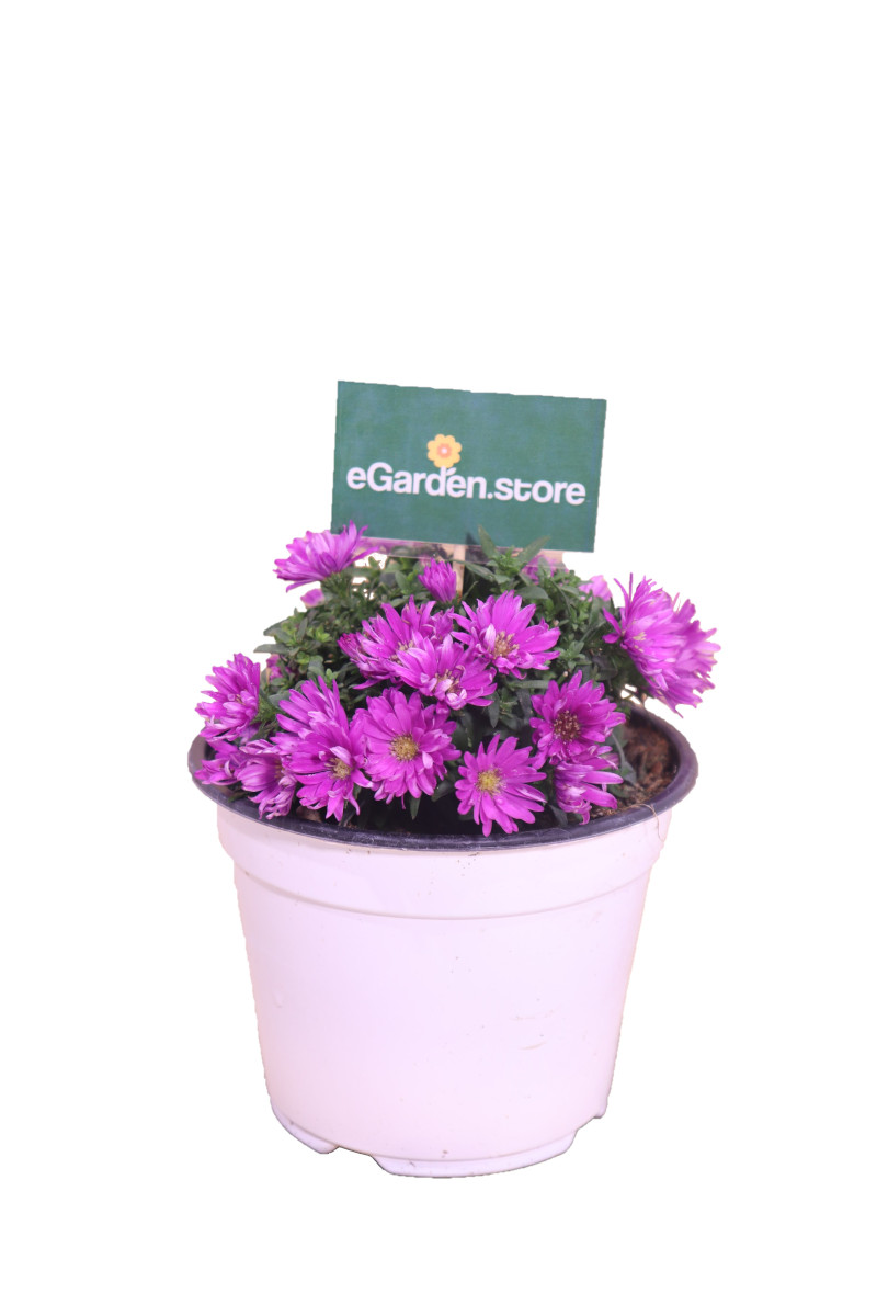 aster fucsia online