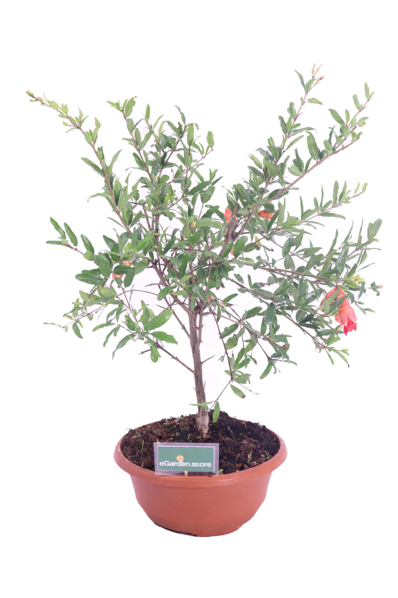 bonsai melograno online