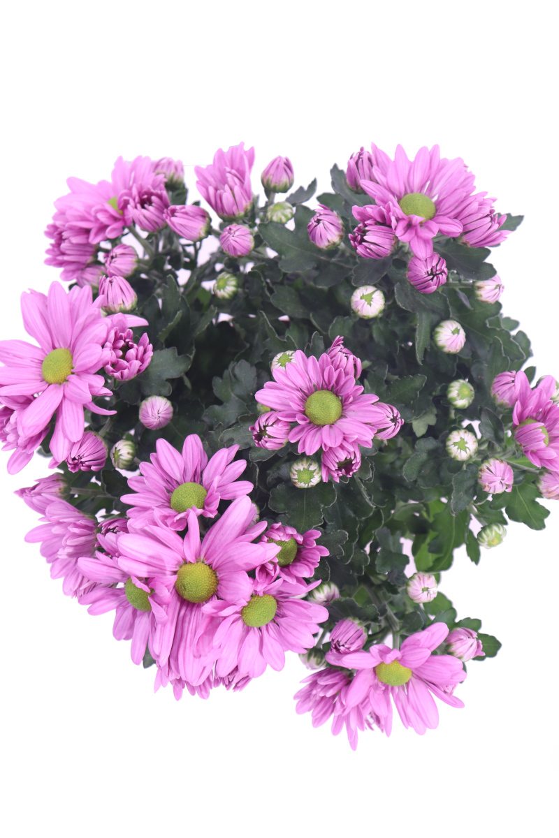 Crisantemo Rosa - Chrysanthemum