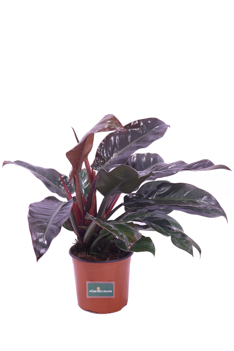 philodendron imperial red online