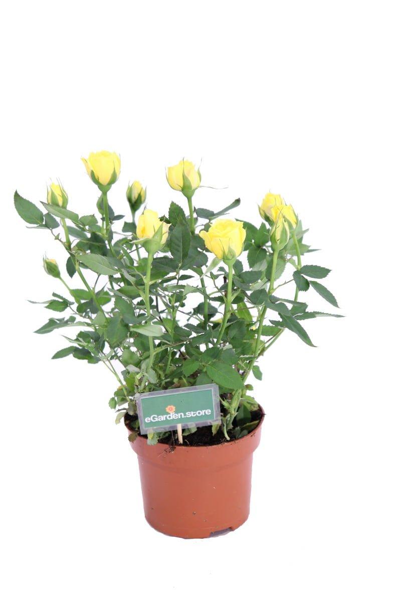 rosellina fiore giallo online
