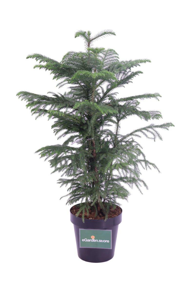 araucaria eterophylla online