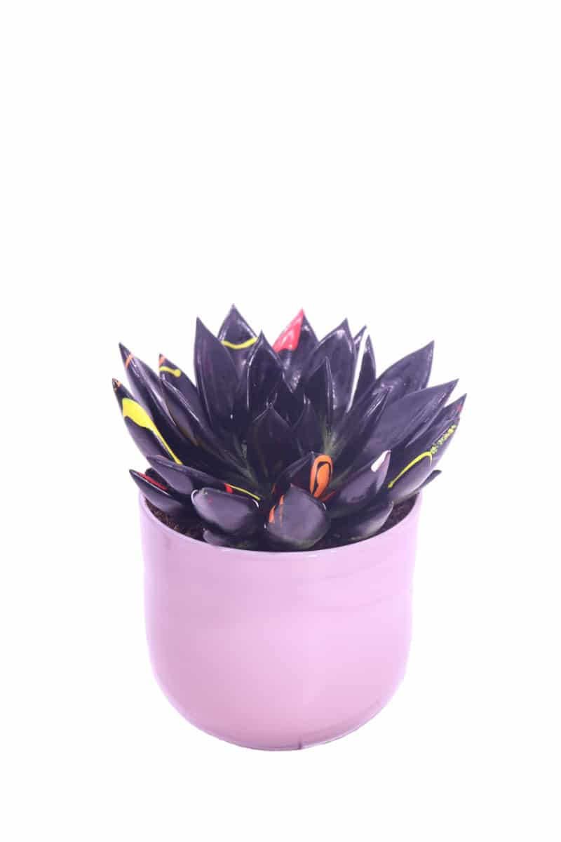 cheveria agavoides paint black online
