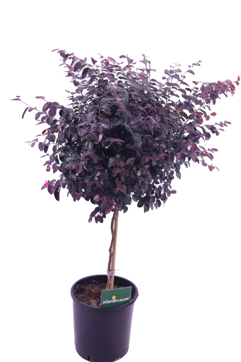 Loropetalum Chinense Black Pearl Alberello