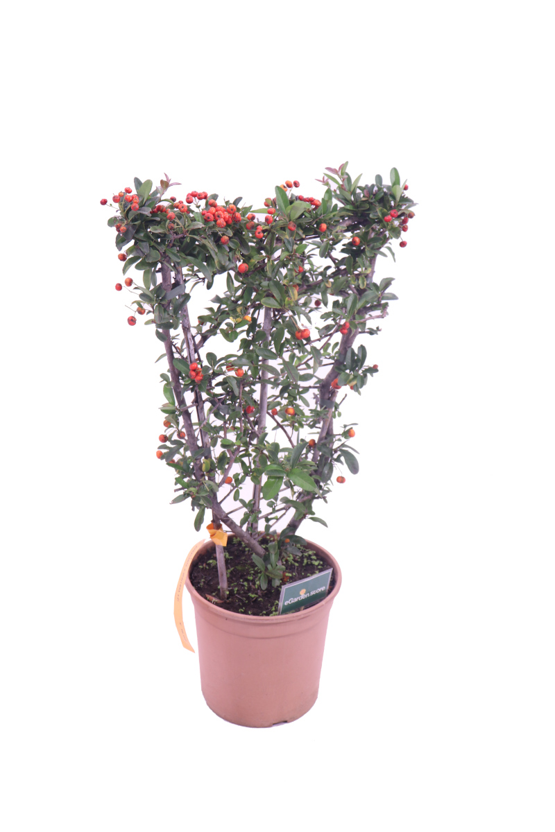 Pyracantha - Bacche Rosse Spalliera