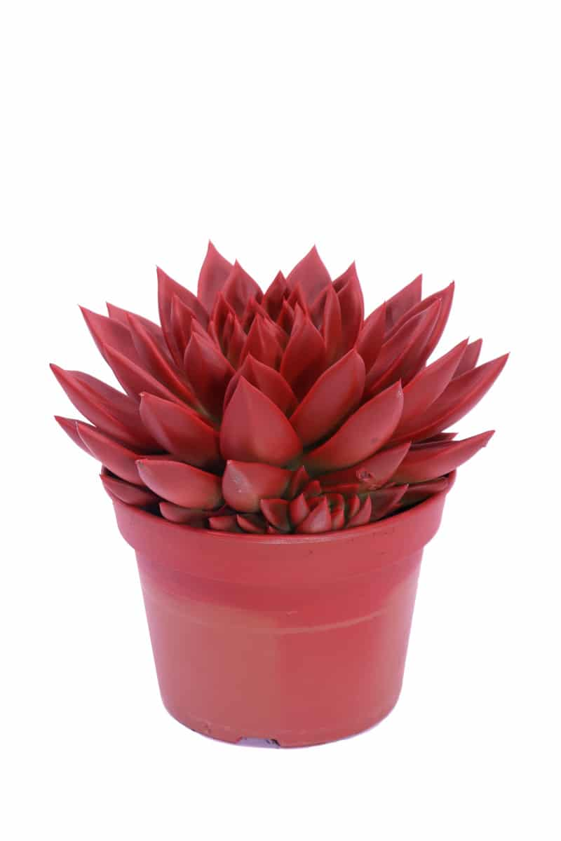 Echeveria Plastic Red
