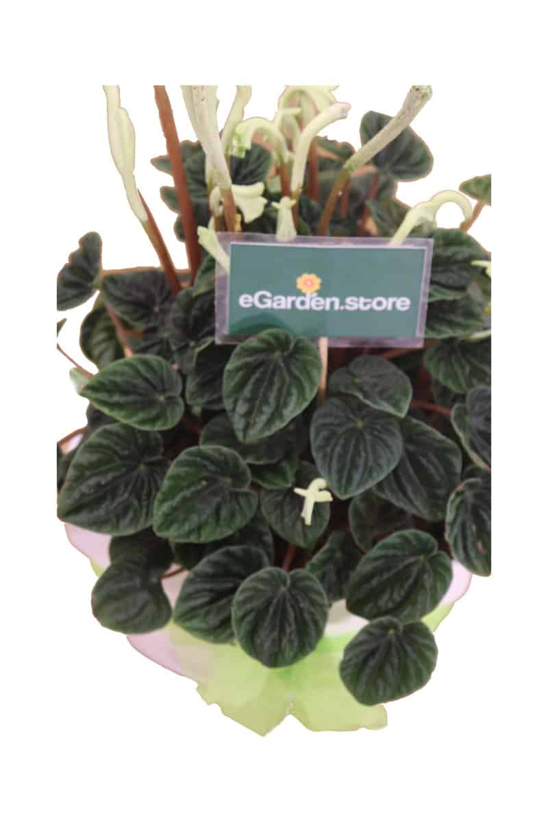 Peperomia Triangle White