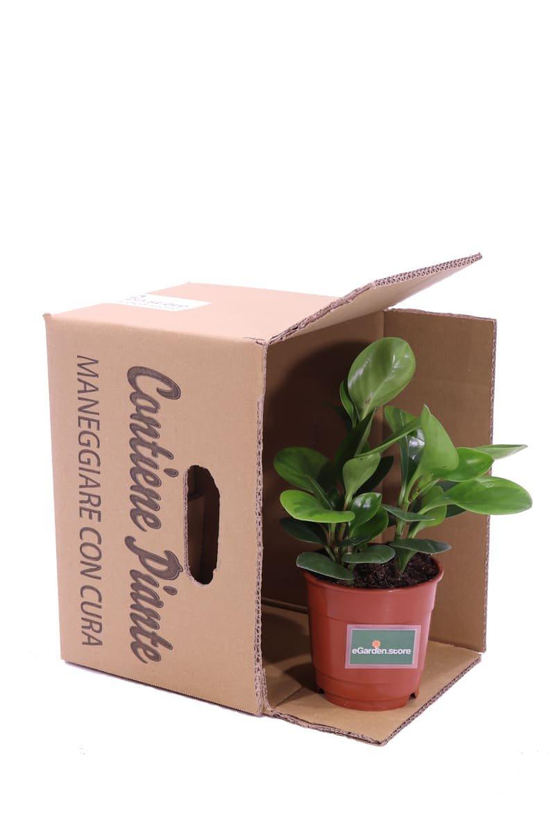 Peperomia Obtusifolia v14 egarden.store online