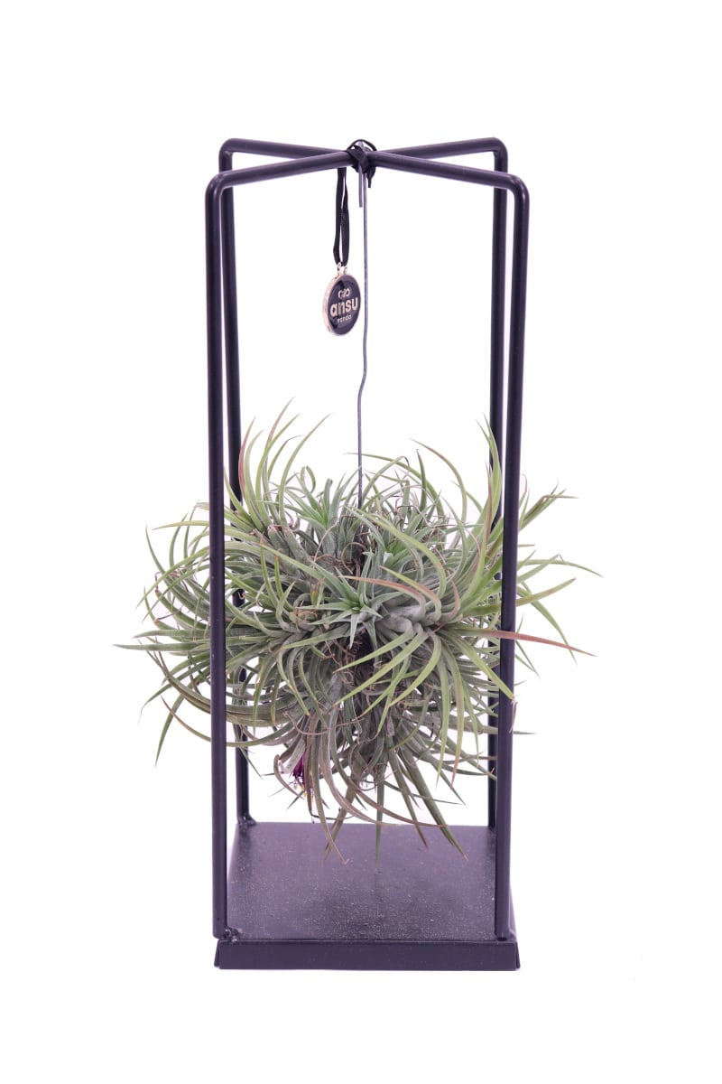 Tillandsia No-Light Rectangula egarden.store online