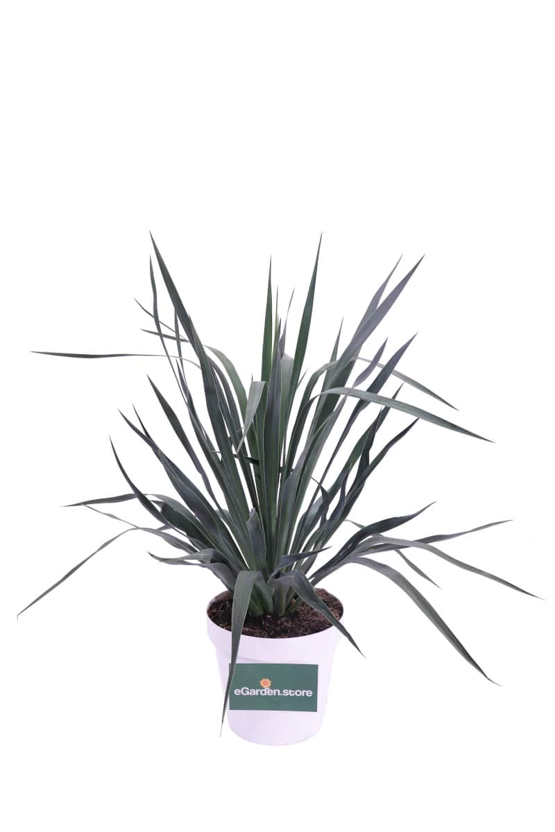 Yucca Gloriosa v23 egarden.store online